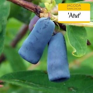 Owoce jagody kamczackiej odmiany Atut