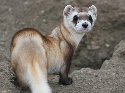 Weasel - Animals That Start With W