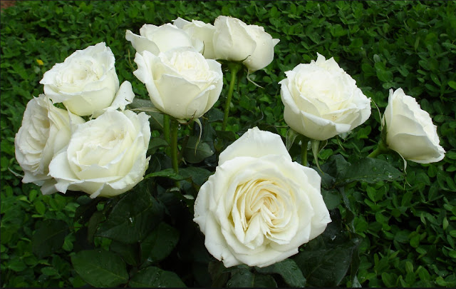bó hoa hồng trắng đẹp nhất 2017 7