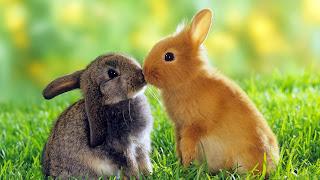 Pasangan kelinci berciuman