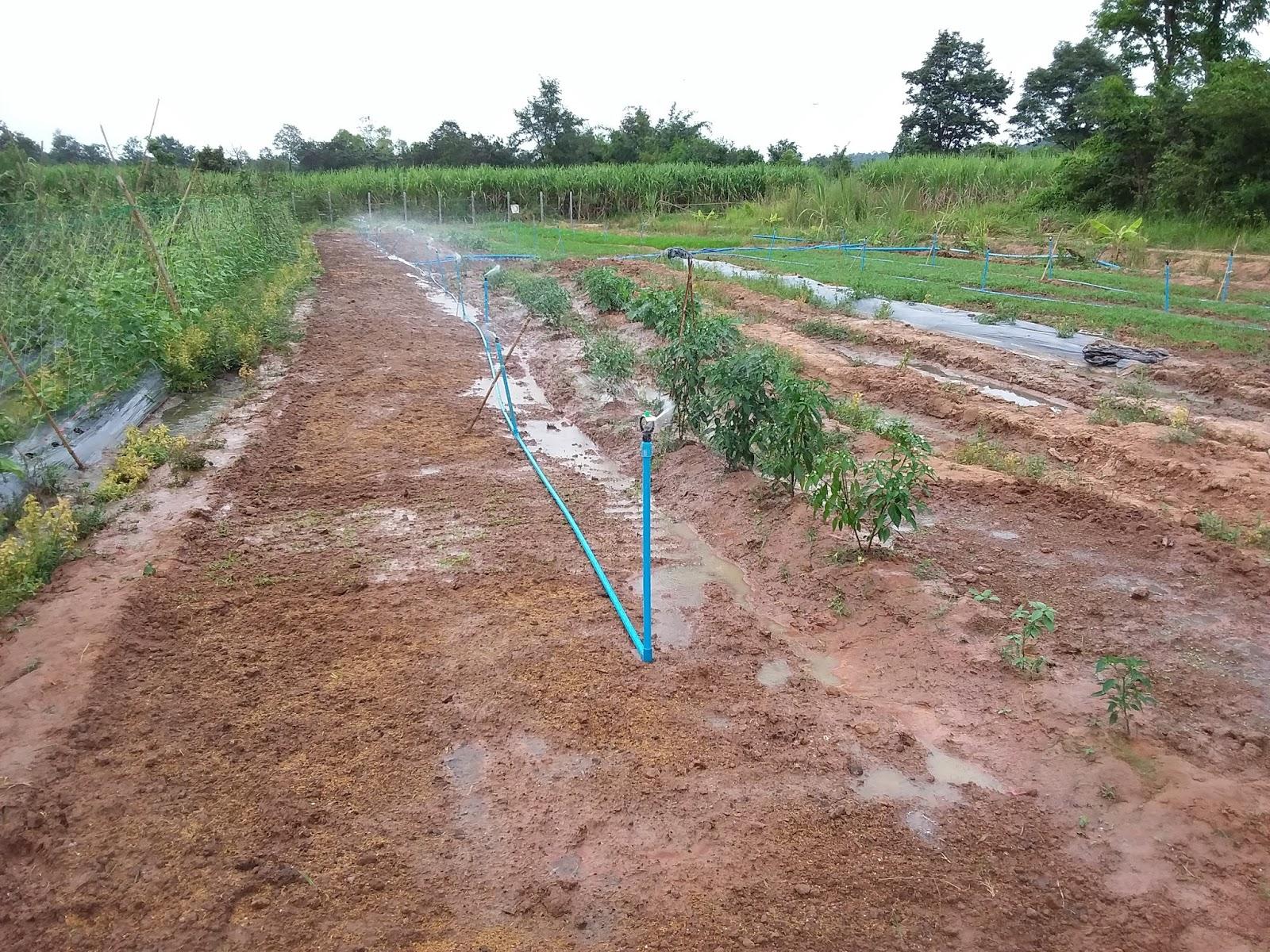 Die Bewässerung Funktioniert, Wenn Auch Mit Vielen Pannen, Murks Und Knorz.  Pak Bung Benötigt Sehr Viel Wasser!