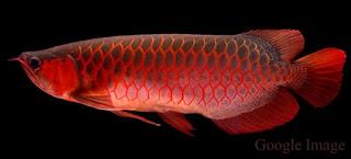 Arwana Merah  Super red arowana