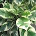 PlSONIA UMBELLIFERA 'VARIEGATA' Nyctaginaceae BIRD-CATCHER TREE Benefits, Care & Propagation  ✅