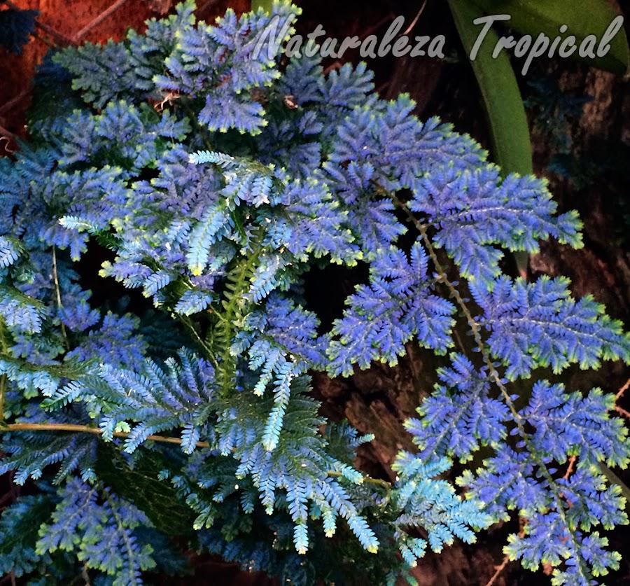 Fotografía del helecho Azul, Selaginella willdenowii