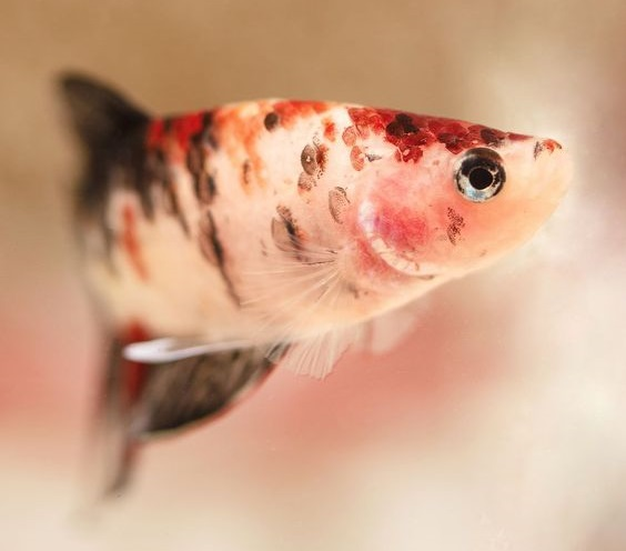 Warna Dasar Ikan Cupang Orange Koi - Ikanhiasku.net