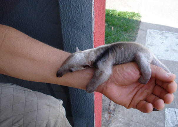 Baby Animals: Baby Ant Eater