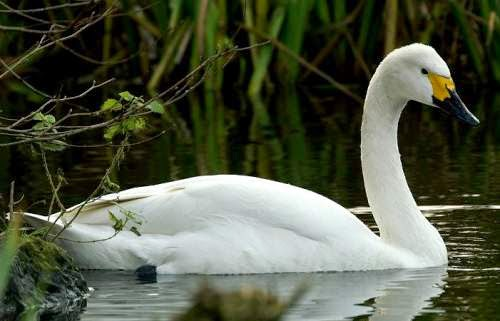 Indian birds - Tundra swan - Cygnus columbianus