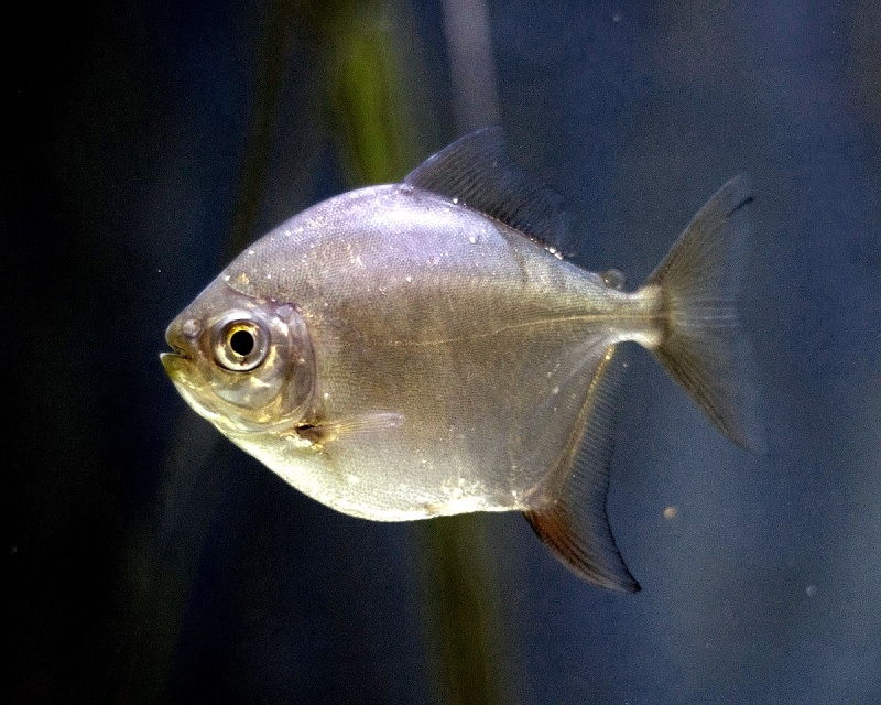 Gambar Jenis Jenis Ikan Silver Dollar Genus Metynnis argenteus