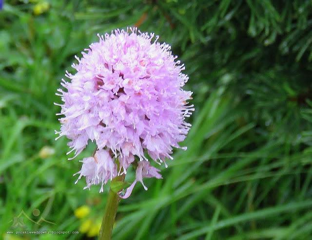 Storczyca kulista (Traunsteinera globosa (L.) Rchb.)