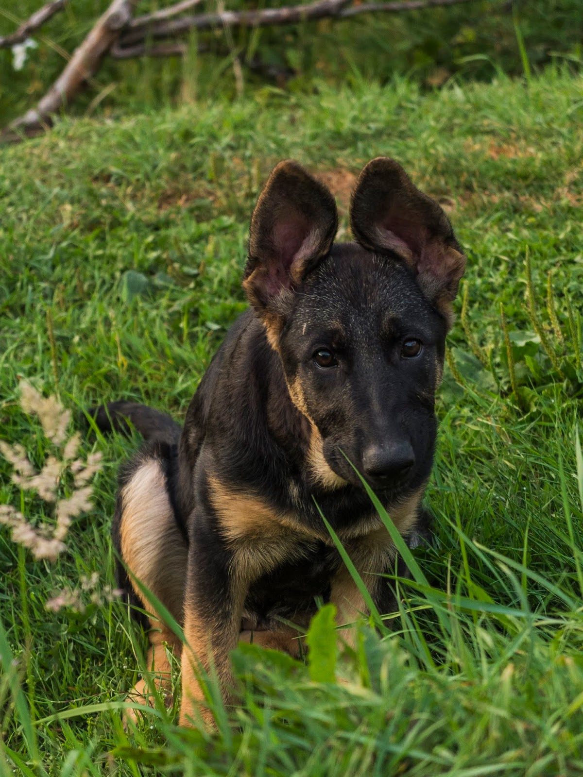 A 3 month old German Shepherd puppy with her ears up sitting on grass.