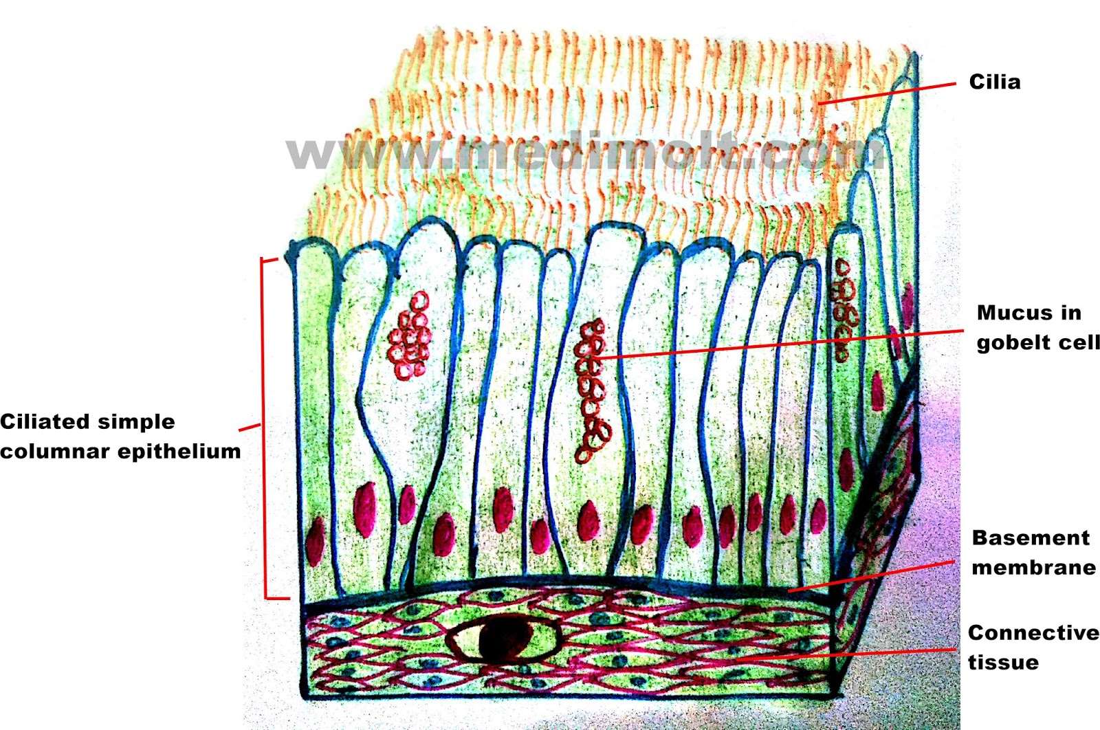 What is Epithelial Tissue Different Types of Structure ...