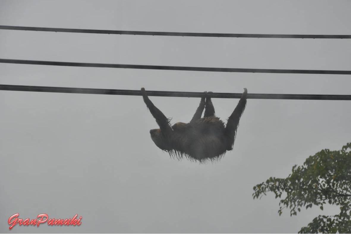 Mono perezoso en el tendido eléctrico en la carretera entre San José y Tortuguero. En blog de viajes, Tortuguero, Costa Rica con niños