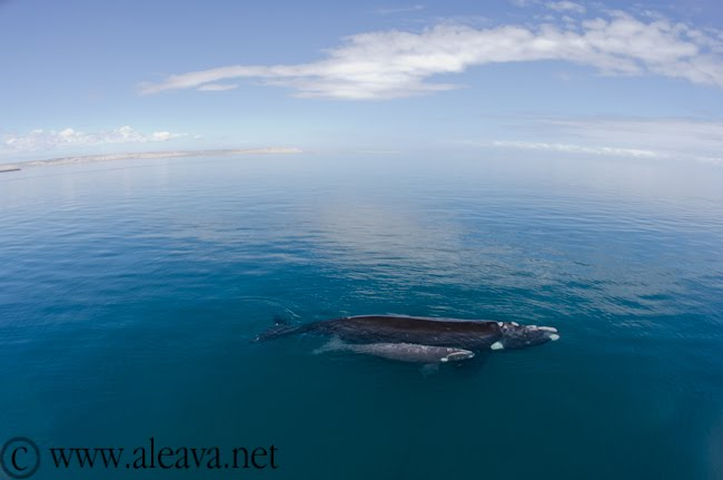 Right Whales Mother and Calf in Peninsula Valdes