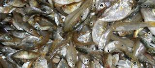Pembuatan Pelet Ikan Dari Ikan Rucah