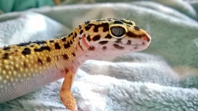 Baby Geckos See The World For The First Time (14 pics)