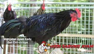 ayam kedu indonesia