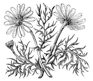 https://4.bp.blogspot.com/-E5m_-dkUofk/WxgvcCmktEI/AAAAAAAAjCY/bGdrhklMIlYdgdSHfsObhNSq8ZKuNAC6ACLcBGAs/s320/flower-drawing-sketch-image-scentless-mayweed.jpg