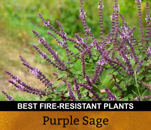 Best Fire Resistant Plants Purple Sage