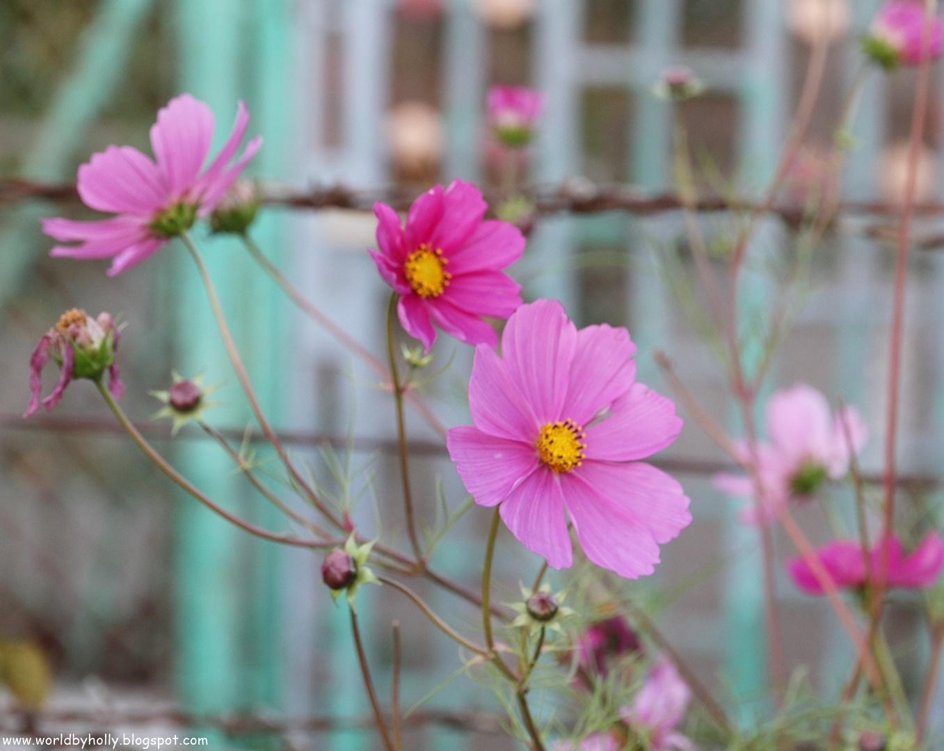 kwiaty do ogrodu, piękne kwiaty, łatwe w uprawie kwiaty do ogrodu, onetek, kosmos