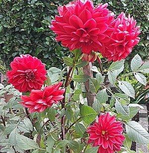 Dahlias growing in Pot