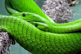 dull mamba snake,black mamba most venomous snake