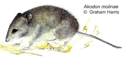 Molina´s grass Mouse