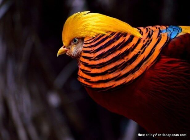 Burung Golden Pheasant