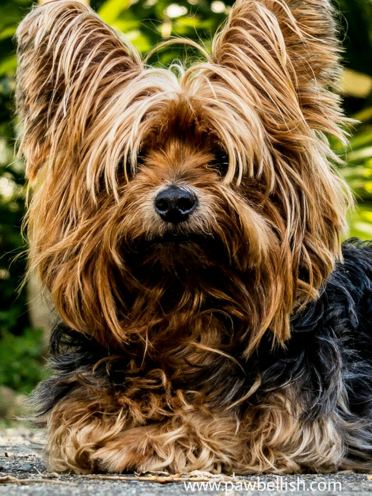 Yorkshire Terrier resting on the hiking trail