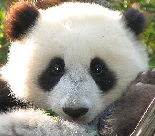 Very Cute Baby Panda Desktop Wallpapers - Wallpapers Photosz
