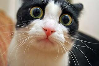 kucing ketakutan mata pupil membesar