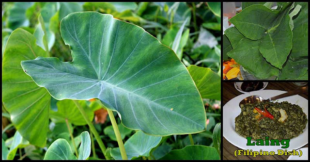 Taro Leaf Is Not Just Our Typical Leaf, It Is Packed With Health-Boosting Nutrients