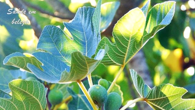 Benefícios do chá de folha de figueira