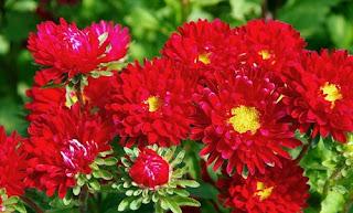 bunga-aster-merah