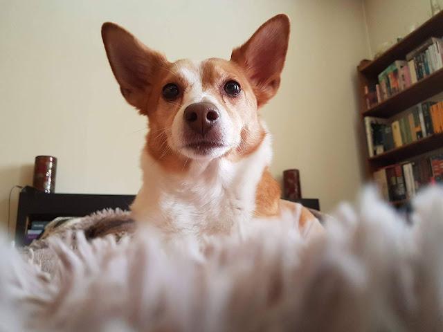 pies na dywanie