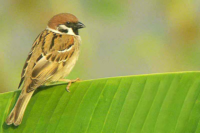 bird, House Sparrow, banana leaf, image