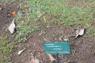 Tanaman kapas cinde yakni tanaman semak yang sering kita jumpai berada disekitar kita Manfaat Kapas Cinde (Asclepias Curassavica L.)