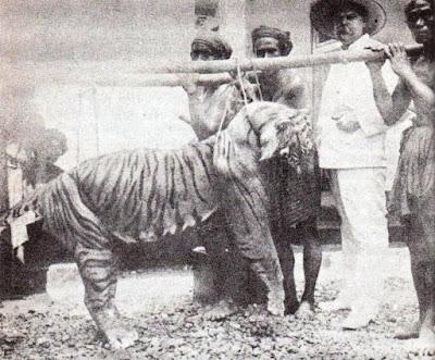 harimau bali yang telah punah