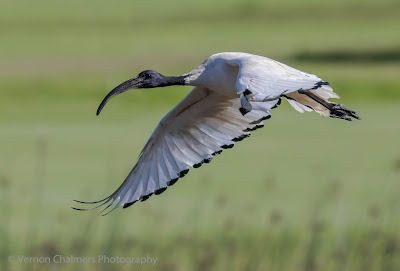 Sacred ibis in flight - Table Bay Nature Reserve / Woodbridge Island  - Copyright Vernon Chalmers