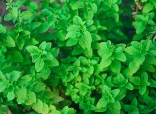 plantas-medicinales-y-aromaticas-del-bosque-mediterráneo