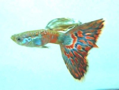 Gambar Ikan Guppy Mosaic - Old Fashion Red Mosaic Jantan