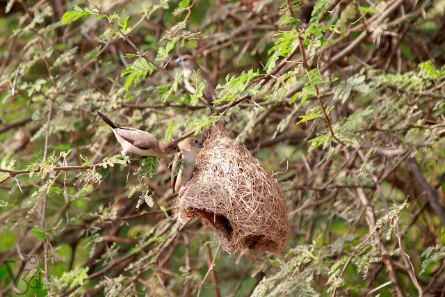 Indian Silverbills or the White-throated Munia in an abandoned weaver bird nest