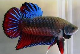 Jenis Ikan Cupang petarung
