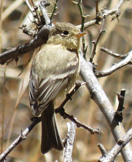 Buff-breasted Flycatcher
