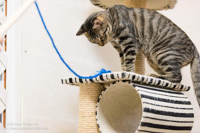 猫カフェ西国分寺シェルターにいた警戒心が強いキジトラが紐で遊ぼうか迷っている瞬間の写真 一枚目