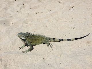 Iguaani, hiekka, ranta, curacao, otus