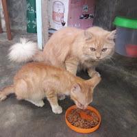 mengapa induk kucing selalu memakan anaknya yang baru lahir