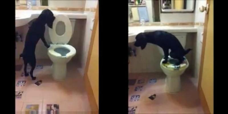 Σκύλος κάνει την ανάγκη του σε τουαλέτα και μετά τραβάει το καζανάκι! (βίντεο)