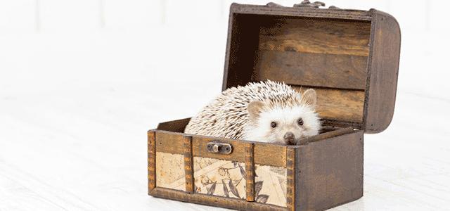 ぱくたそ:宝箱に入り込んだハリネズミ