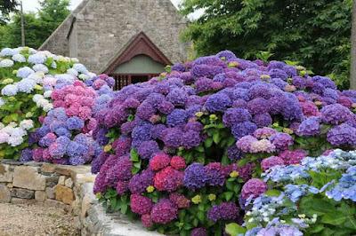 Hortênsia (Hydrangea macrophylla) - Arbusto semilenhoso, com altura de 1 a 2,5 metros e folhas grandes, denteadas, brilhantes e textura assemelha-se à do couro –, a hortênsia tem a variação de cores de suas inflorescências influenciada pelo nível de acidez e concentração de alumínio do solo. Como o solo brasileiro é naturalmente acidificado, o azul é a cor que prevalece na hortênsia plantada no país.