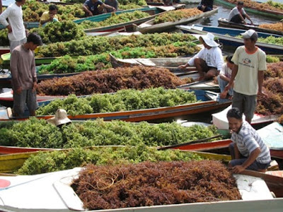 Seaweed Production in Indonesia and Export Activities